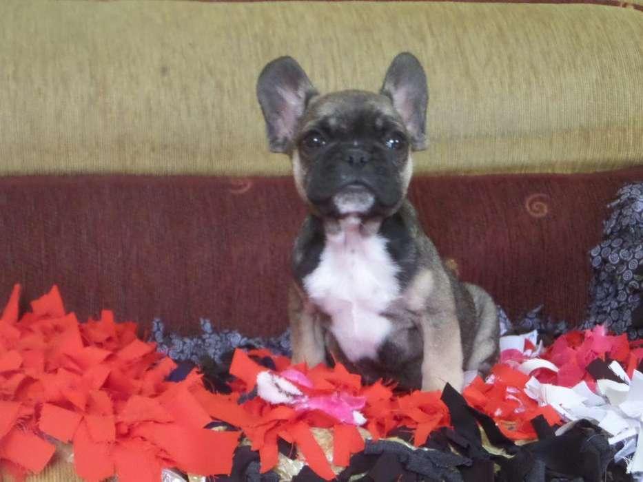 Cachorro B Frances Micro