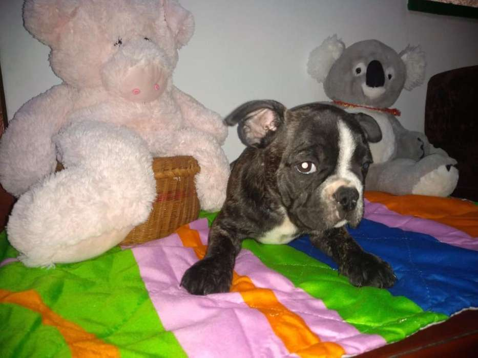 Se Vende Hermoso Bulldog Machito