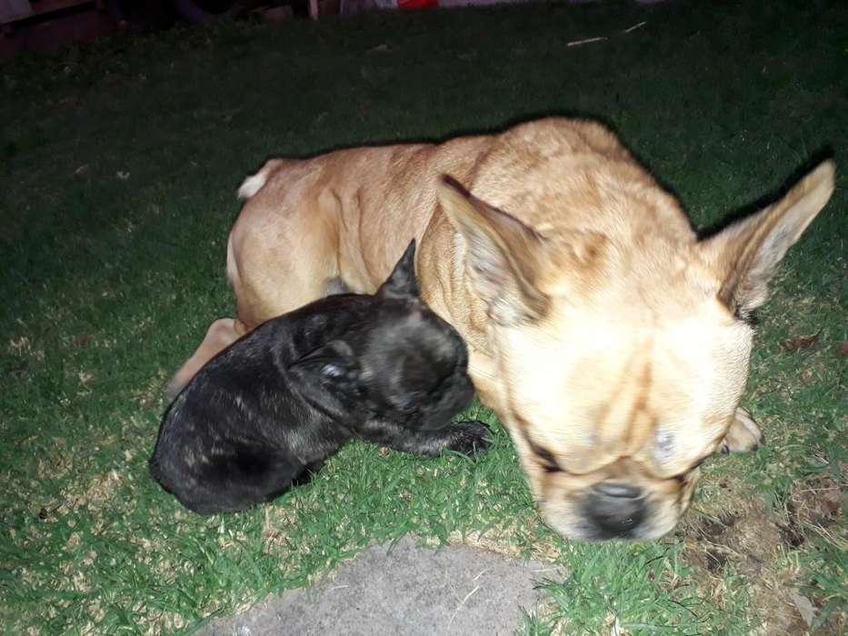 <strong>bulldog</strong> frances cachorrito