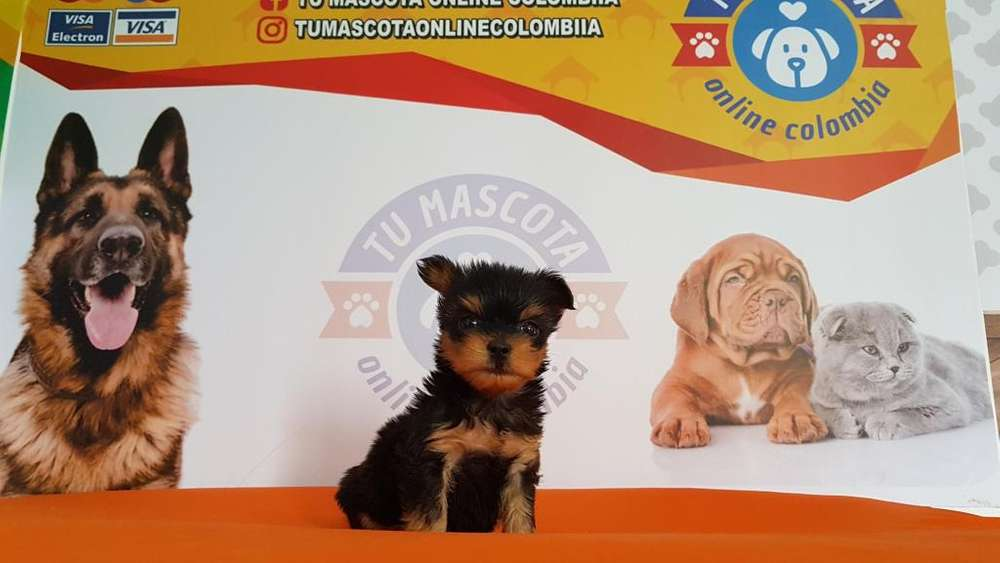 Magnifico Yorkshire <strong>terrier</strong> Tacita Mini Lindo