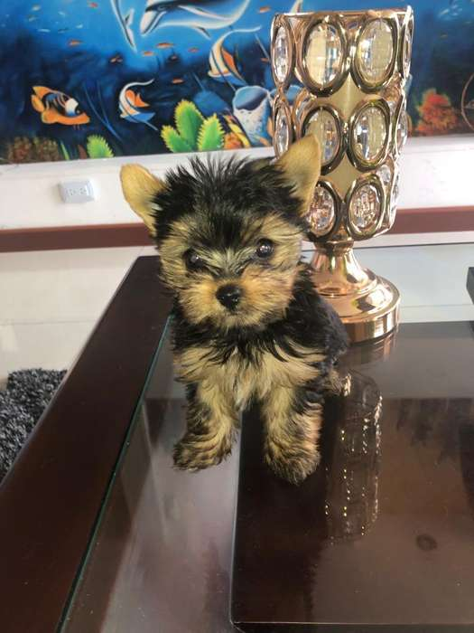 espectaculares yorkshire terrier