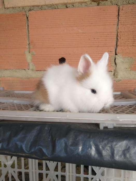 Conejos Mini