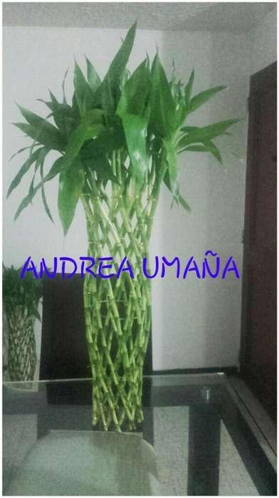 Hermosos Luky Bambu de La Suerte