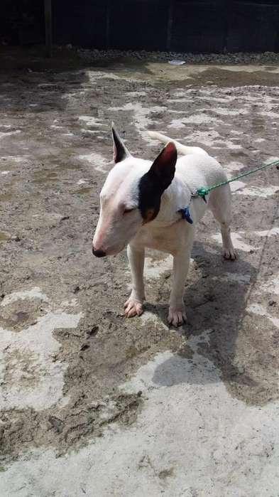 Perrita de Raza Bull Terrier