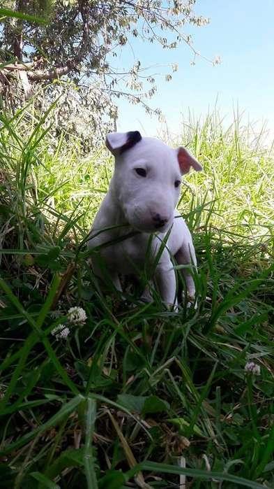 increibles bull terrier