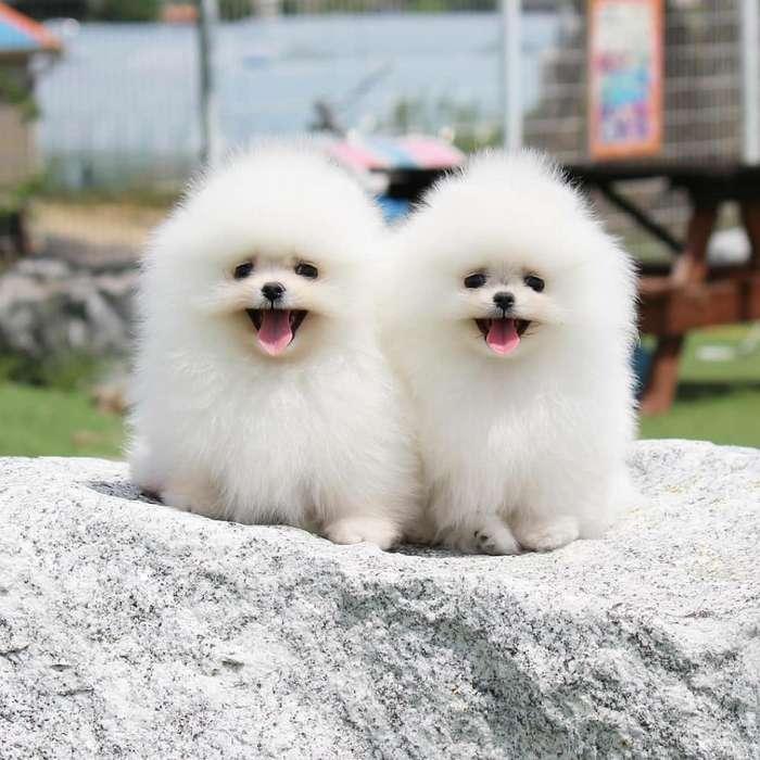 Cachorros de Raza Pura