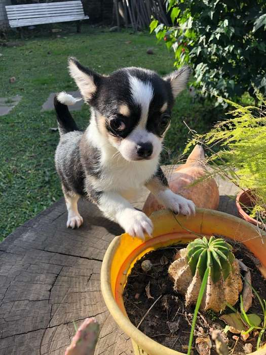 Chihuahua Mini Hembra Tres Meses