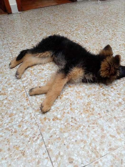 se vende hermosa cachorra de pastor aleman