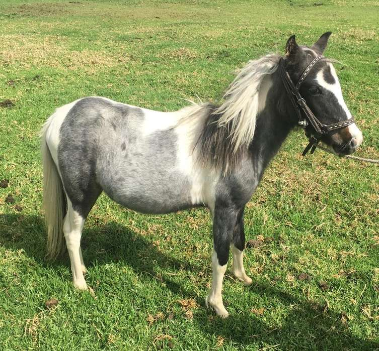 Pony Hembra Pinta Mansita