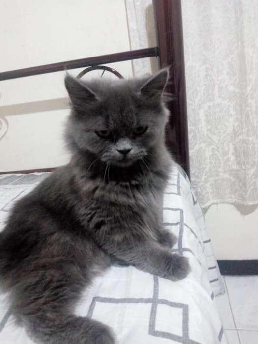 Gato Persa Siberianos Y Clasicos, Gatos