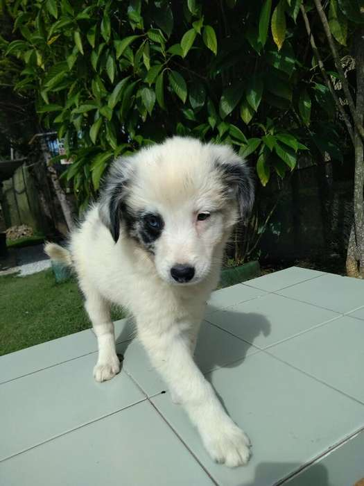 Divina Hembra Border <strong>collie</strong> Blue Merle