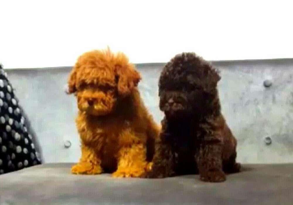 Poodle Dos Colores