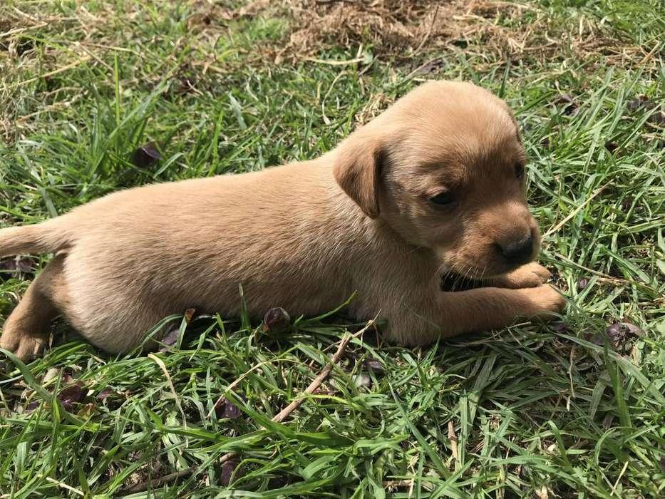 Preciosos <strong>cachorro</strong>s labrador retriever