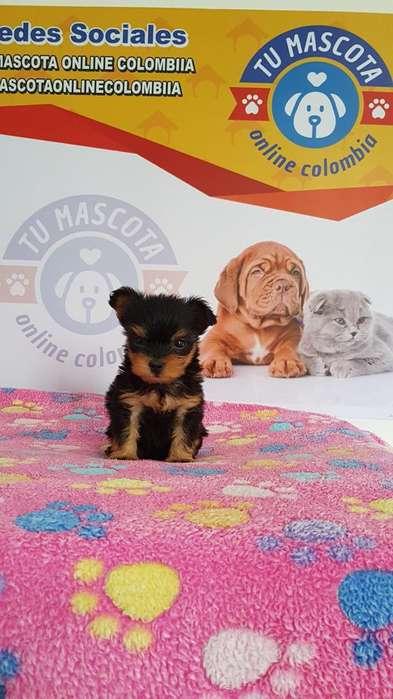 Divino Yorkshire <strong>terrier</strong> Tacita Espectacular