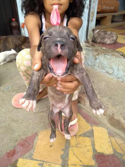 Venta Hermosos <strong>cachorro</strong>s Pitbull