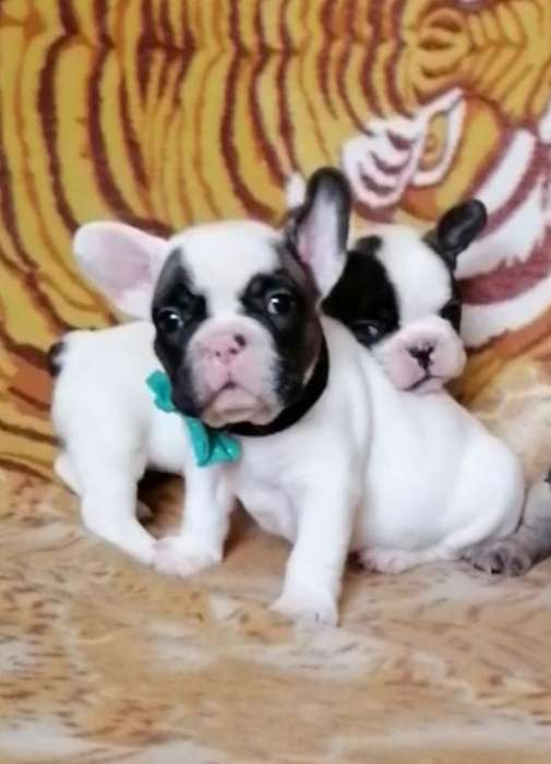 Bulldog Francés Micro Padre Full Pedigre