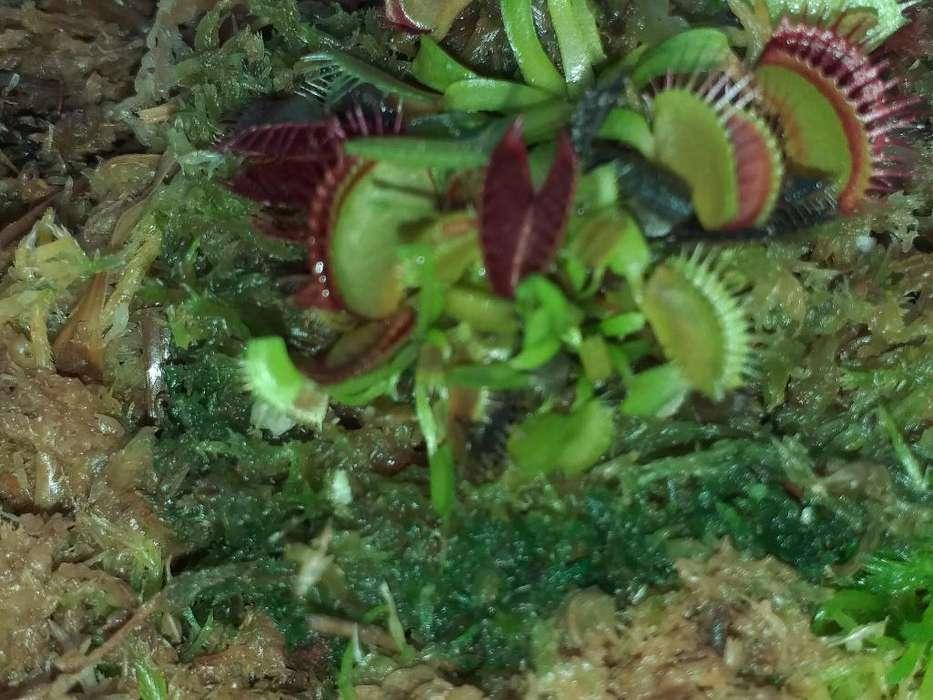 Plantas Carnívoras(venus Y Droseras)