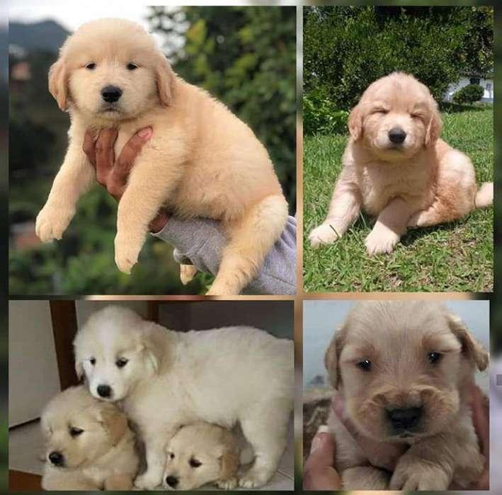 golden retriever <strong>cachorro</strong>