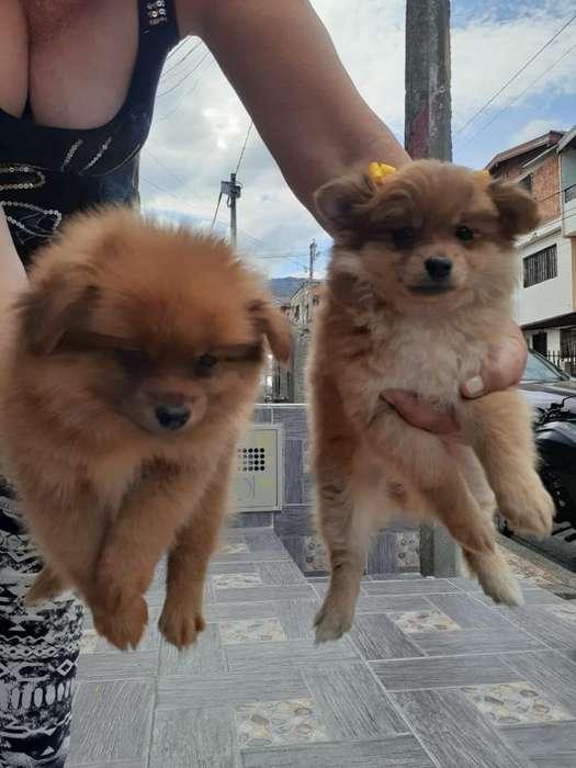Vendo <strong>perro</strong>s Pomerania Lulu