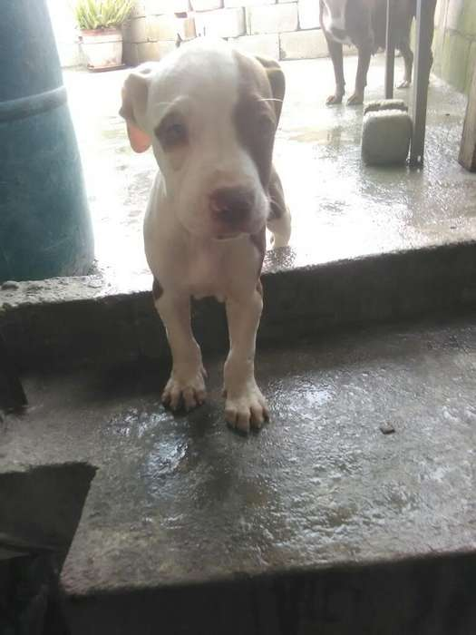 Pitbull Red Nouse