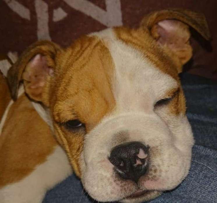 Bulldog Ingles Barato