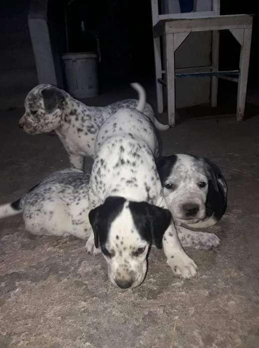Vendo Perritos Dalmatas Iforn 0984545529