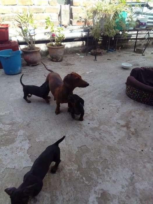 Vendo Cachorros Raza Salchicha