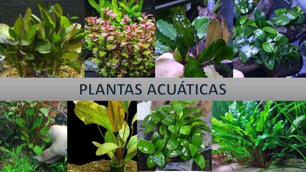 PLANTAS ACUÁTICAS IMPORTADAS