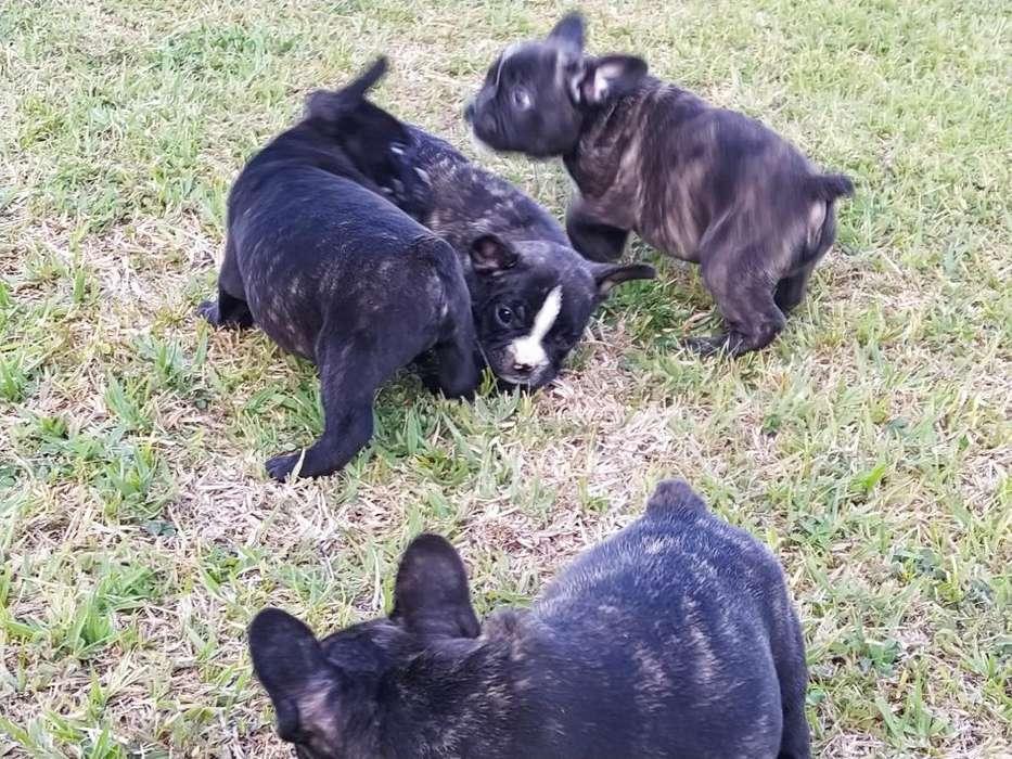 Hermosos Machos <strong>bulldog</strong> Frances Disponib