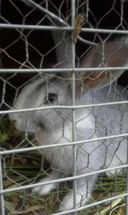 Se Venden 5 Conejos de 5 Meses