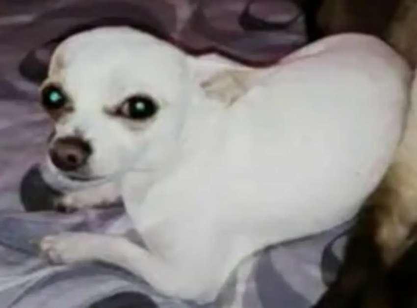 Busco Novia Para Mi Chihuahua Perros 1108782943