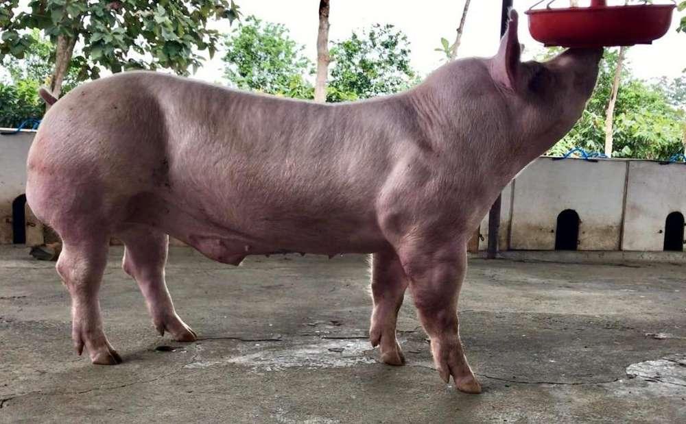 Cerdos Reproductores y madres F1