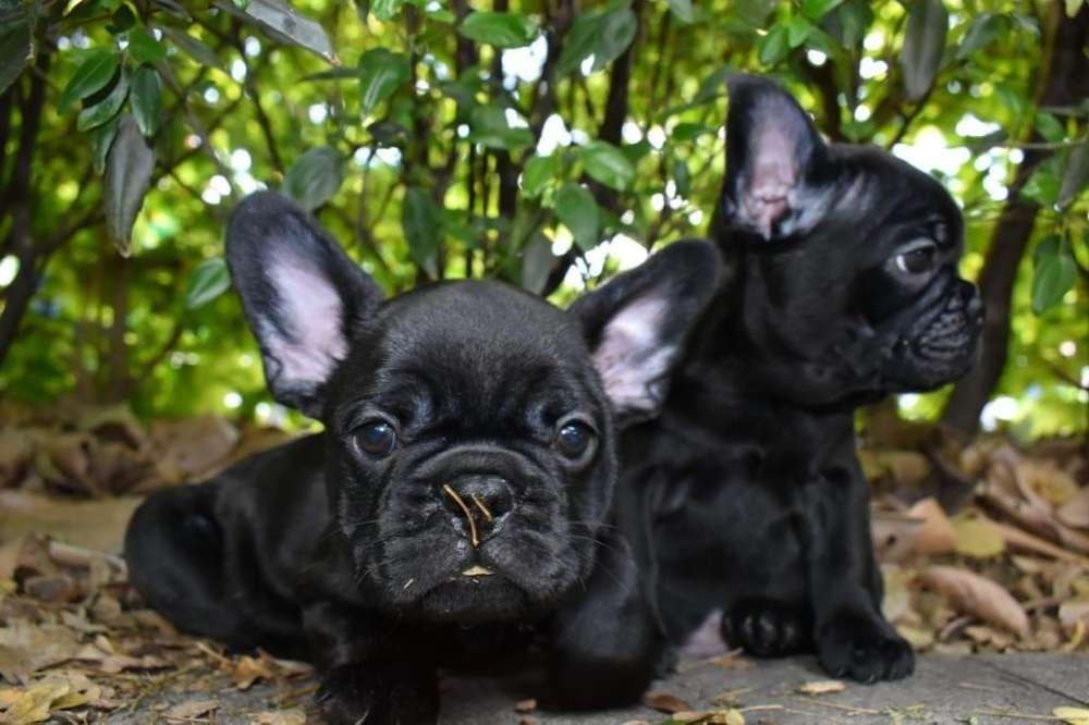 Cachorros Bulldog Frances Negro 1,000.000 El Arca Del Frances