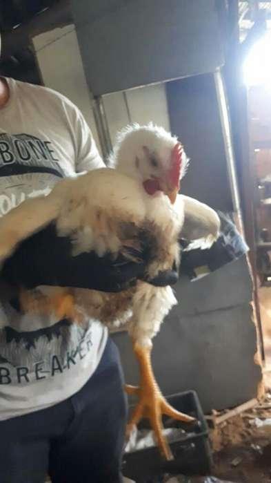 Animales de Granja (<strong>pollos</strong>)