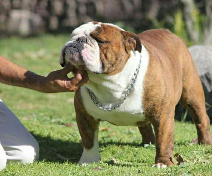 Bulldog para Montas Campeón