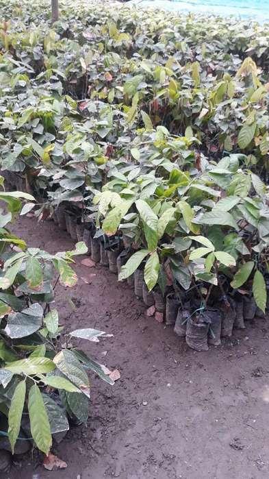 Vend Matas de Cacao Ingerto Dueño Direct