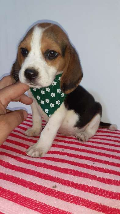Beagles <strong>cachorro</strong> Luchitos