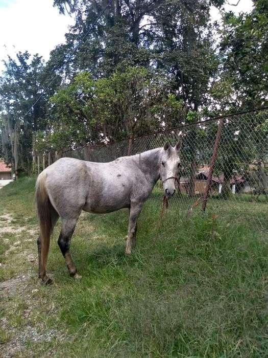 SE VENDE <strong>caballo</strong> CORREDOR