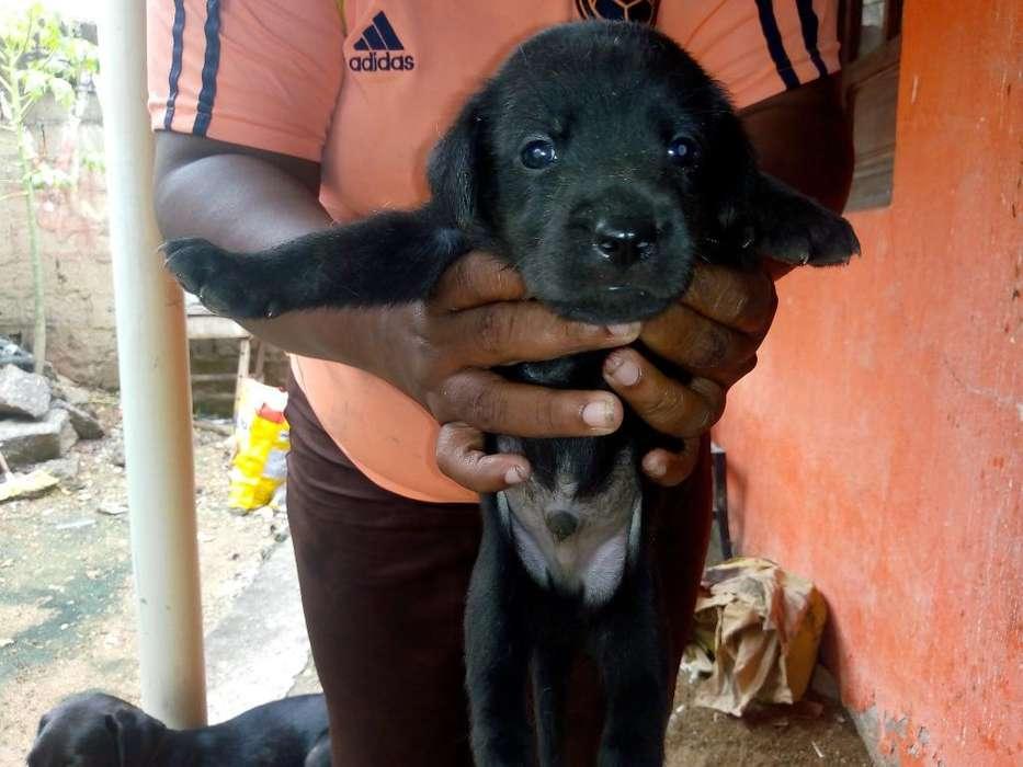 Ala Ventas <strong>cachorro</strong>s de Labrador Finos
