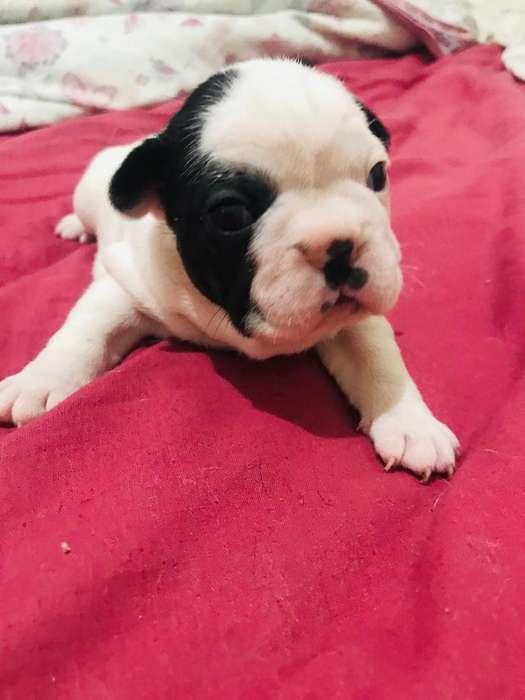 Perro Bull Dog Frances