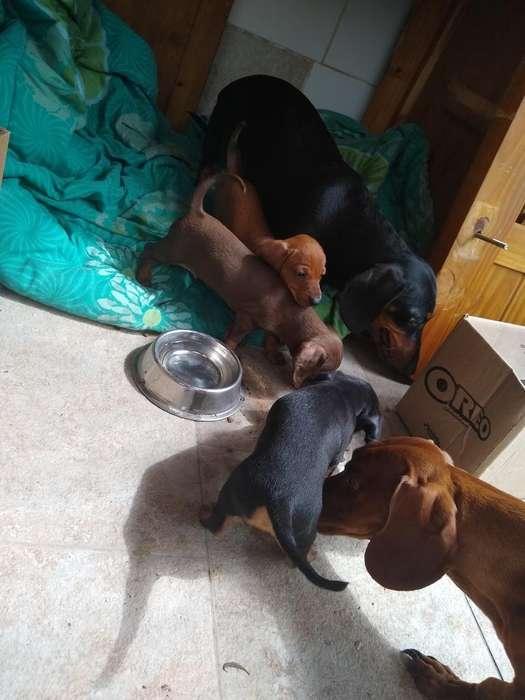 Cachorros Salchichas Miniatura