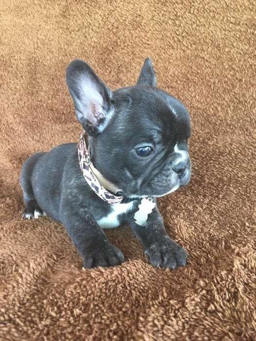 Bulldog Francés ¡la Mejor Calidad!