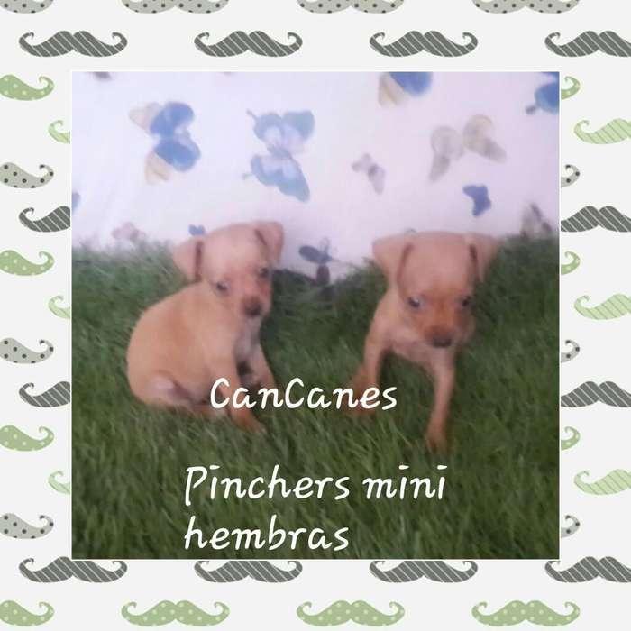 a La Venta Hembras Y Macho Pincher Mini