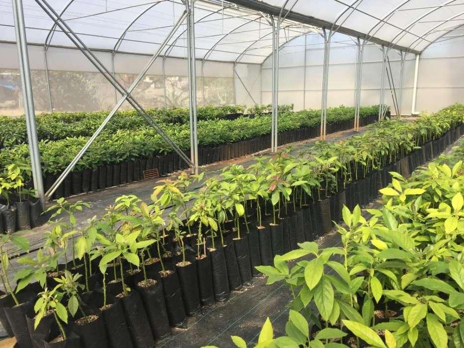 Plántulas-plantas-almacigo de Aguacate