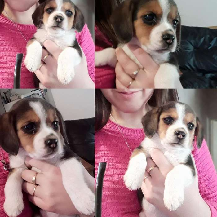 Ultima Beagle