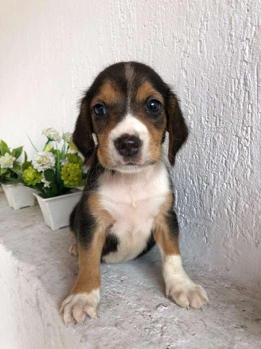<strong>beagle</strong> Tricolor Vacunado