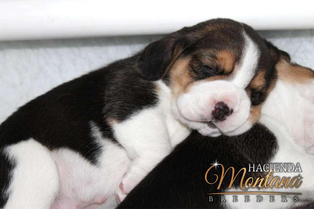 CACHORROS <strong>beagle</strong> TRICOLOR A LA VENTA EN IBAGUE