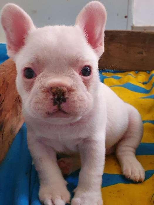 Bulldog Frances <strong>cachorro</strong>s