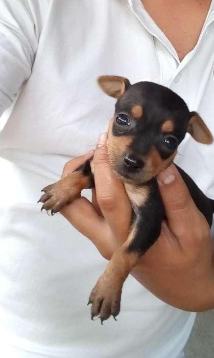 Cachorros Pincher Tradicionales Miniatur