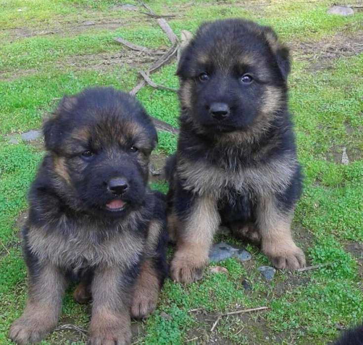 Se vende hermosos cachorros Pastor aleman